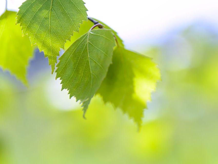 hausmittel gegen blasenentzündung birkenblätter tee