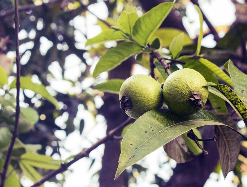 Wie viel Vitamin C ist in Guave