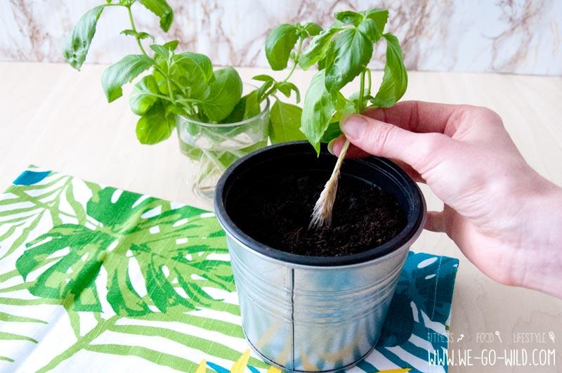 Basilikum vermehren durch Ableger